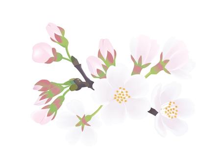 Yoshino cherry tree 4