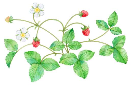 Wild strawberry ★ 0460-W
