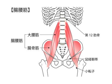 Muscle / Intestinal Lumbar Muscle