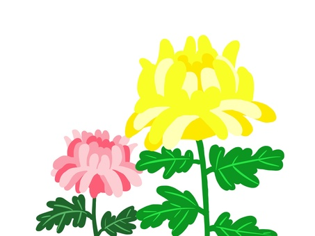 Chrysanthemum flowers (yellow and pink)
