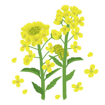 Rape blossoms image 02