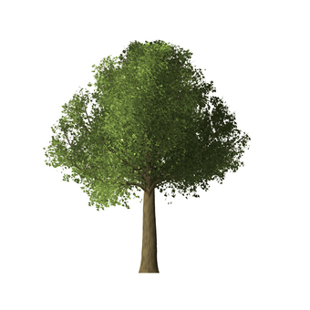 Image of Zelkova