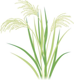 Rice / Summer 1