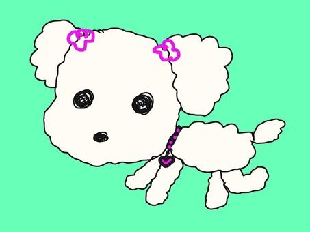 Toy poodle white