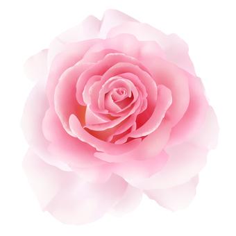 꽃 핑크 장미 1