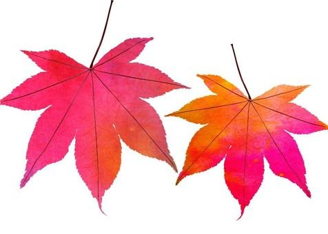 Momiji autumn color