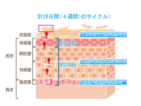Mechanism of keratinization turnover of skin