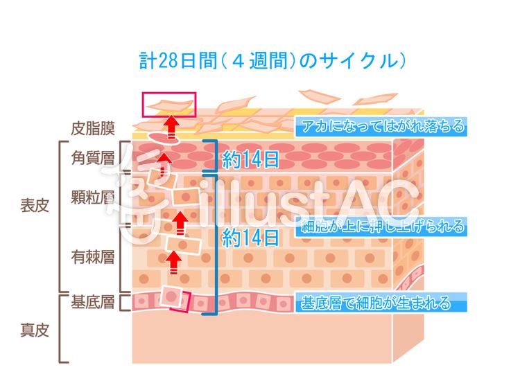 肌の角化 ターンオーバーの仕組みのイラスト