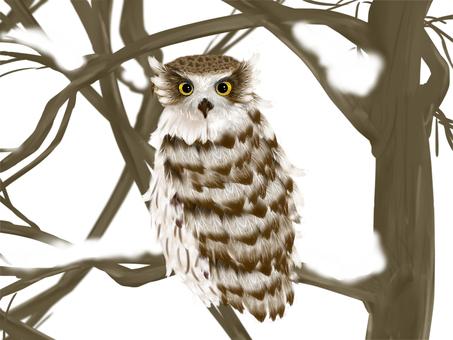 Shima Owl (3)
