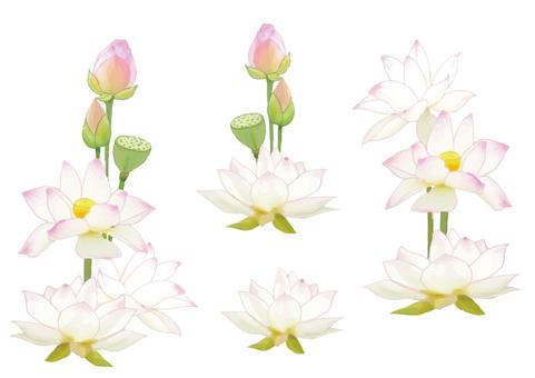 Lotus flower parts