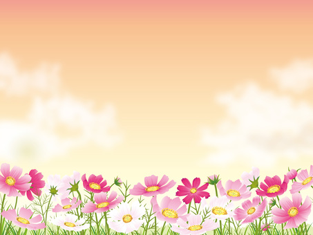 Sunset background with cosmos field and cloud 02
