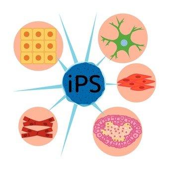 IPS细胞