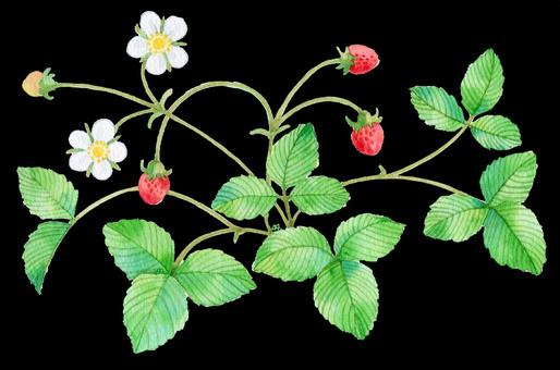 Wild strawberry black ★ 0019-W