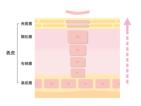 Healthy skin turnover _ Section view