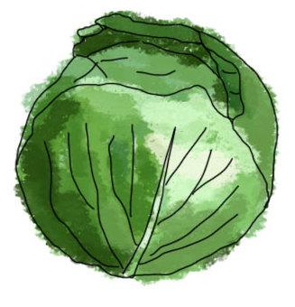 수채화 화풍 양배추
