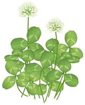 White clover / weeds