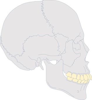 Craniofacial profile S.ClⅡdiv1