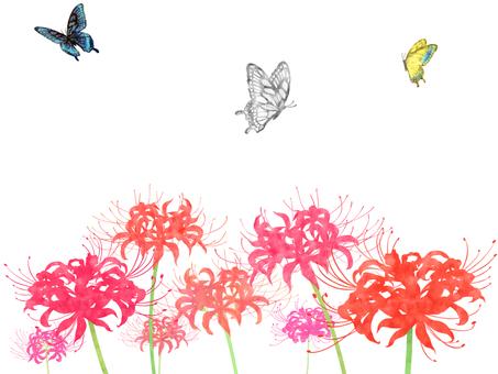 히간 바나와 나비