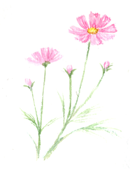 Cosmos drawing with transparent watercolor