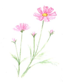 用透明水彩畫的波斯菊