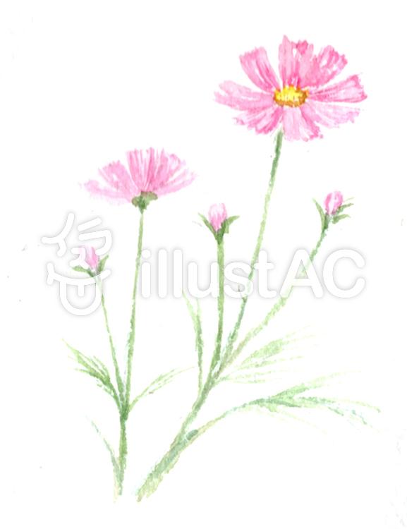 透明水彩で描くコスモスイラスト No 949141無料イラストなら