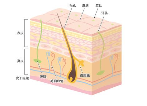 Skin cross section _ 3 D