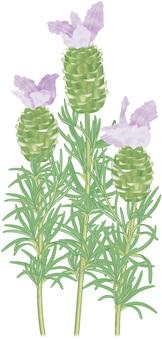 Lavender / 6