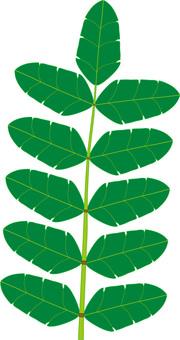Japanese pepper leaves