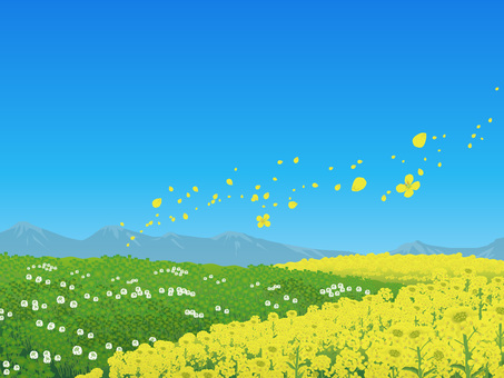 Rape blossoms and clover's blue sky Hara pictures Landscape 03