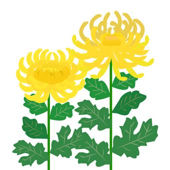 노란 국화