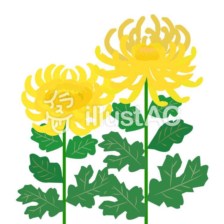 黄色い菊のイラスト