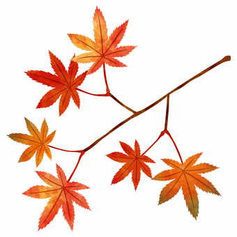 Autumn leaves / Maple branch
