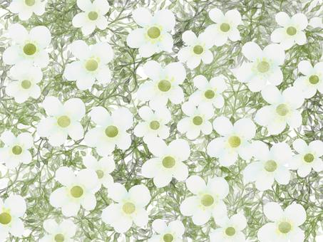 Saxifragase White
