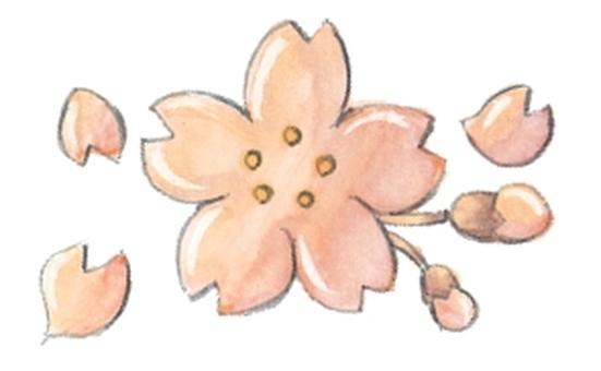 Spring material cherry blossom bud