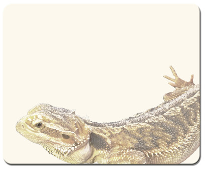 【Frame】 Foot Bearded Bearded Lizard