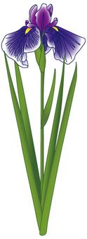 Flower - iris (shoumu) -01