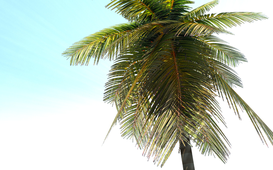 Coconut palm 1 (background transparent)