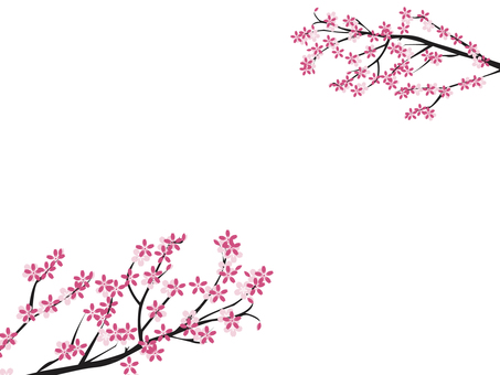 Cherry blossoms blooming in branches