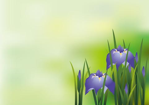 Iris iris 8