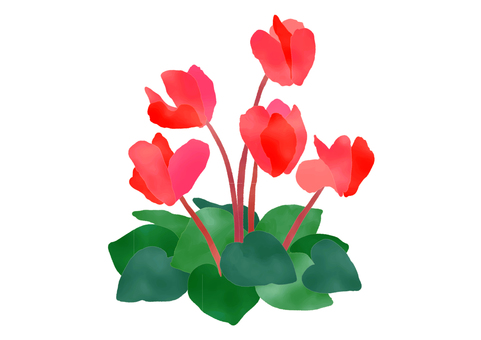 Cyclamen watercolor winter flower red vector