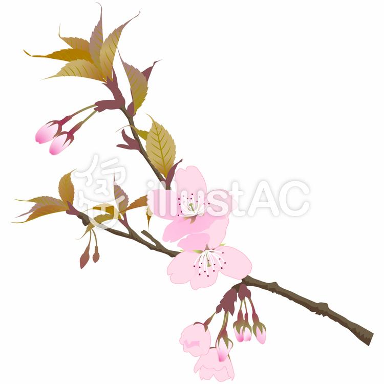 桜2のイラスト