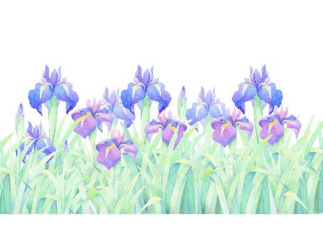 A lot of irises! ! ★ 0036-F