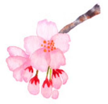 Sakura blooms.