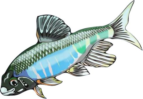 Freshwater fish Oikawa