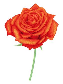 赤いバラ(水彩イラスト)