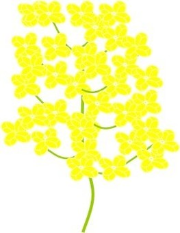 A rape flower