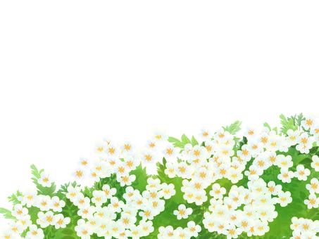 Yarrow, saw grass (saw pencil)