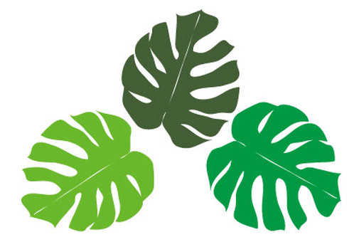 Tropical green plants Monstera
