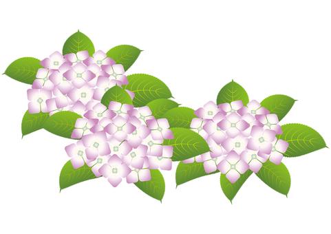 Beautiful hydrangea 8