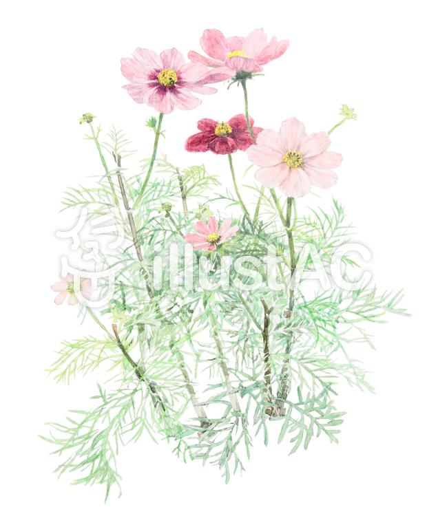 手書き コスモスの花イラスト No 519261無料イラストなら